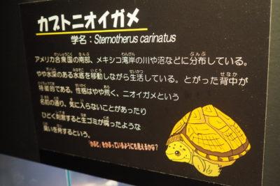 キモい展2 カブトニオイガメ