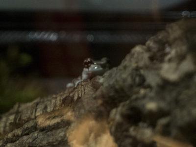 キモい展2 ジュウジメドクアマガエル
