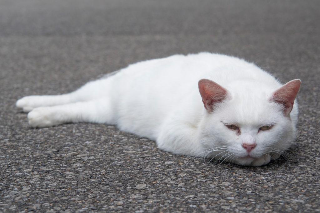 唐沢山神社 白猫